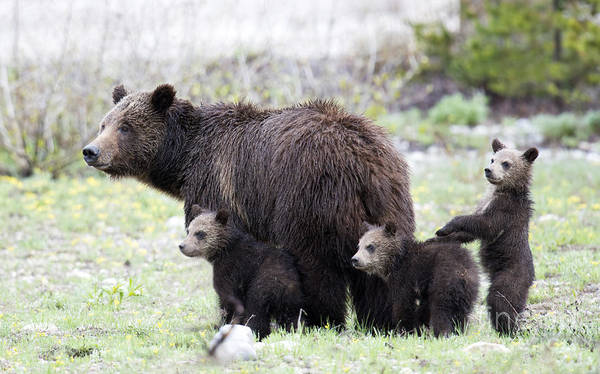 Sow Photograph - Grizzly Family Portrait by Deby Dixon