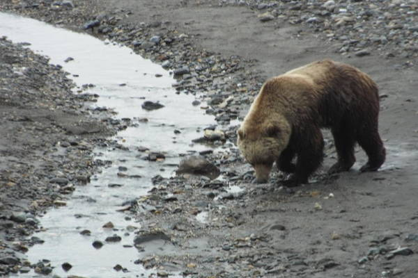 Photograph - Grizzly In Denali by Barbara Von Pagel