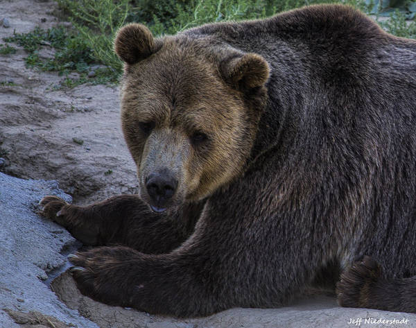 Photograph - Grizzly by Jeff Niederstadt