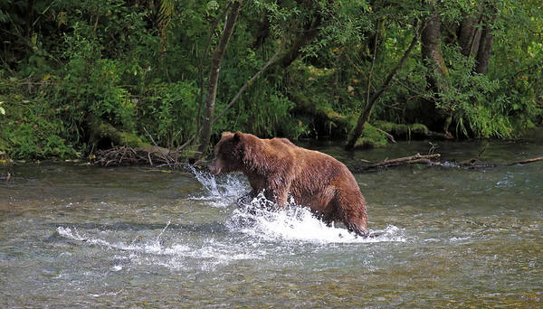 Photograph - Grizzly Jump by Jean Clark