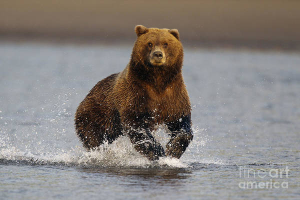 Wall Art - Photograph - Grizzly Running Through Water by Jason O Watson