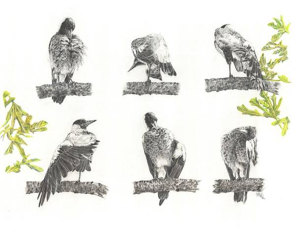 Magpies Drawing - Grooming Is So Important by Leonie Bell