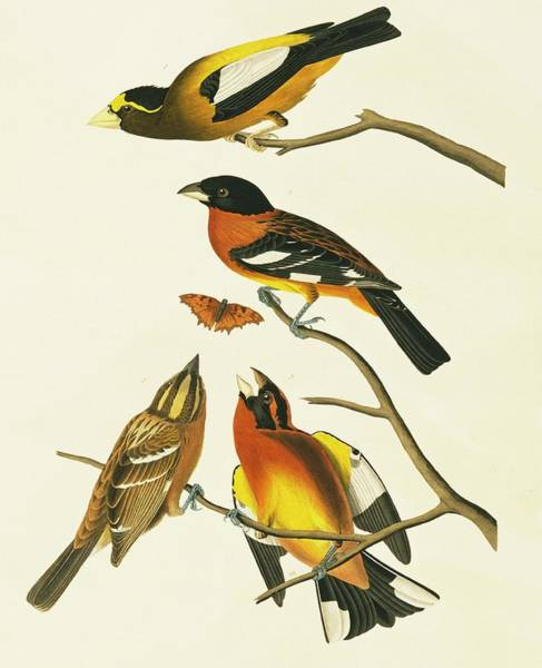 Aquatint Photograph - Grosbeaks by Natural History Museum, London/science Photo Library