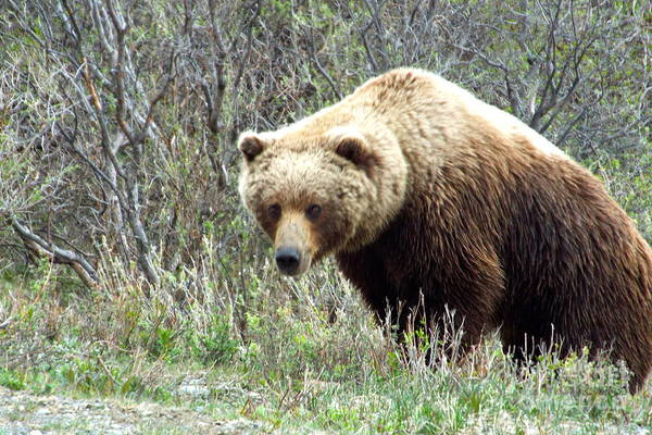 Photograph - Grouchy Grizzly by Barbara Von Pagel