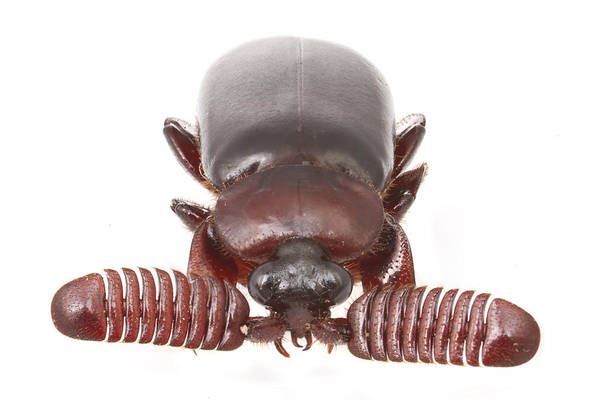 Photograph - Ground Beetle In Mozambique by Piotr Naskrecki