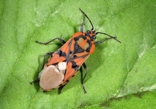 Entomology Photograph - Ground Bug Lygaeus Saxatilis by Nigel Downer