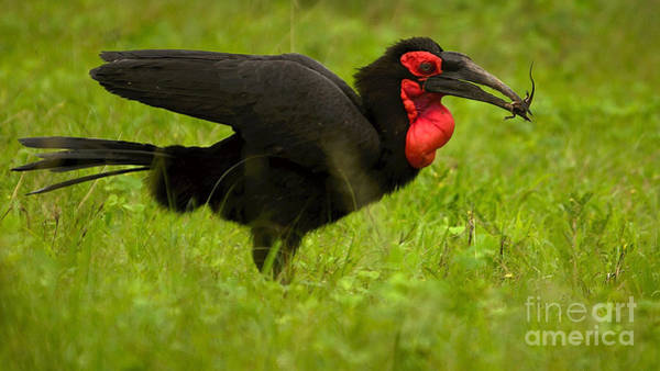 Photograph - Ground Hornbill With A Lizard by Mareko Marciniak