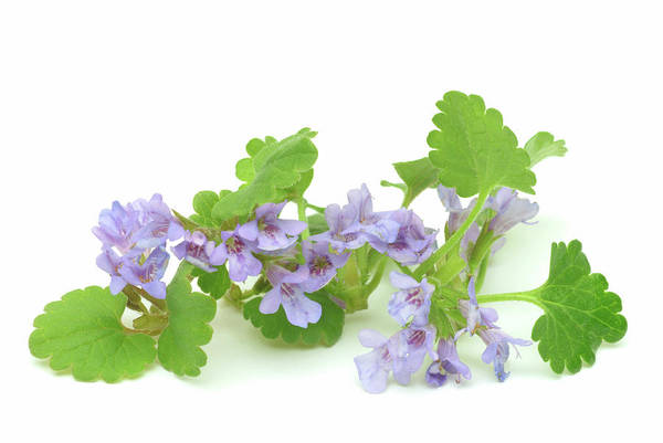 Tonic Photograph - Ground Ivy (glechoma Hederacea) by Bildagentur-online/th Foto/science Photo Library