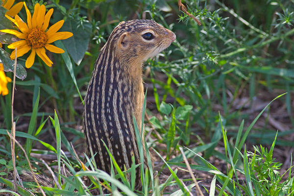 Horicon Marsh Photograph - Ground Squirrel At Horicon Marsh by Natural Focal Point Photography
