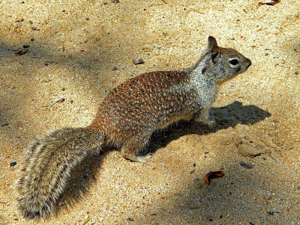 Photograph - Ground Squirrel by Frank Wilson
