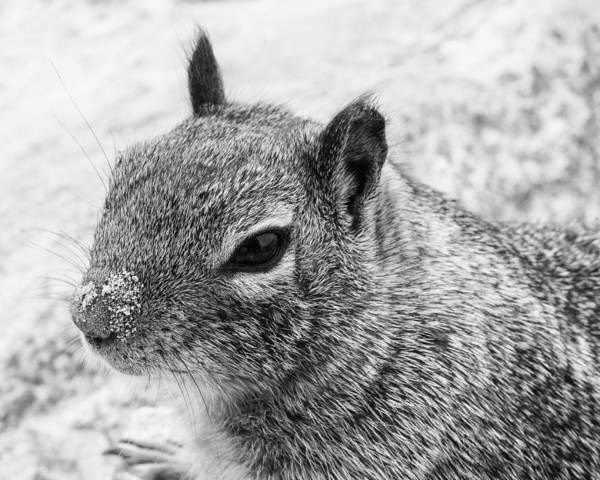 Photograph - Ground Squirrel With Sandy Nose by Priya Ghose