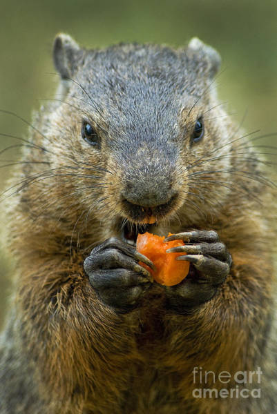 Photograph - Groundhogs Favorite Snack by Paul W Faust -  Impressions of Light
