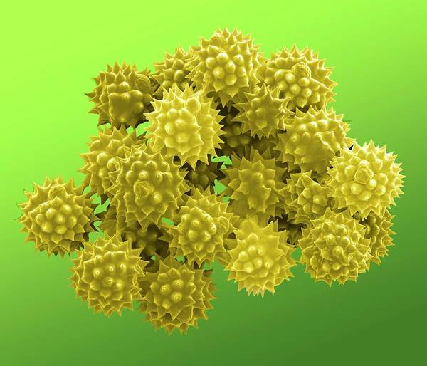 Pollen Photograph - Groundsel Pollen Grains by Clouds Hill Imaging Ltd/science Photo Library