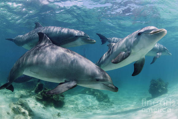 Dolphin Photograph - Group Of Bottlenose Dolphins Underwater Photograph by Brandon Cole