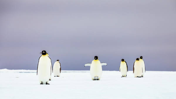 Wall Art - Photograph - Group Of Emperor Penguins Aptenodytes by Andrew Peacock