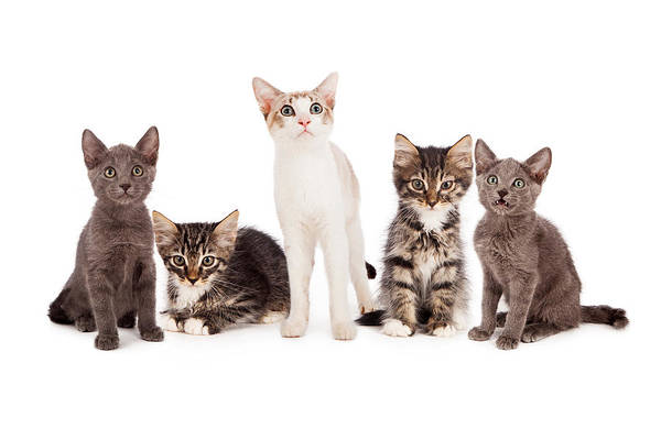 Canine Photograph - Group Of Five Young Kittens by Susan Schmitz
