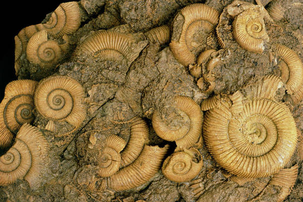 Palaeontology Wall Art - Photograph - Group Of Fossil Amonite by Sinclair Stammers/science Photo Library
