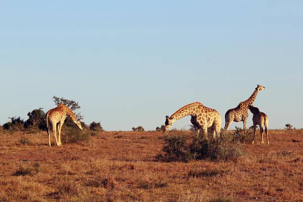 Wall Art - Photograph - Group Of Giraffes by Chris Whittle