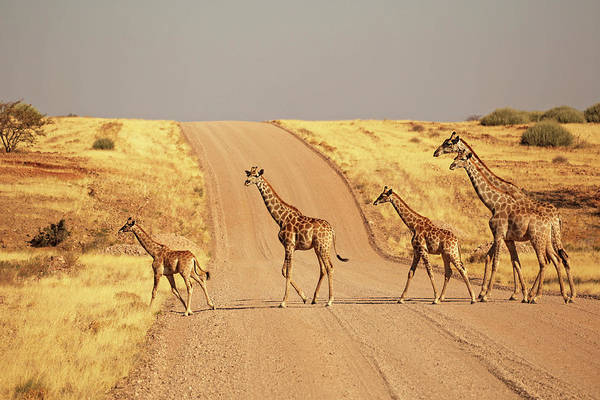 Safari Animal Photograph - Group Of Giraffes Walking On The Gravel by Jurgar