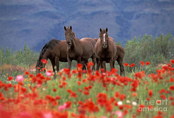 Photograph - Group Of Horses In Field by Rolf Kopfle