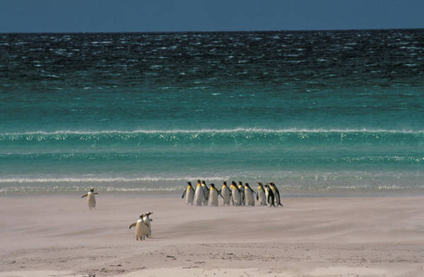 King Penguin Wall Art - Photograph - Group Of King Penguins Falkland Island by Animal Images