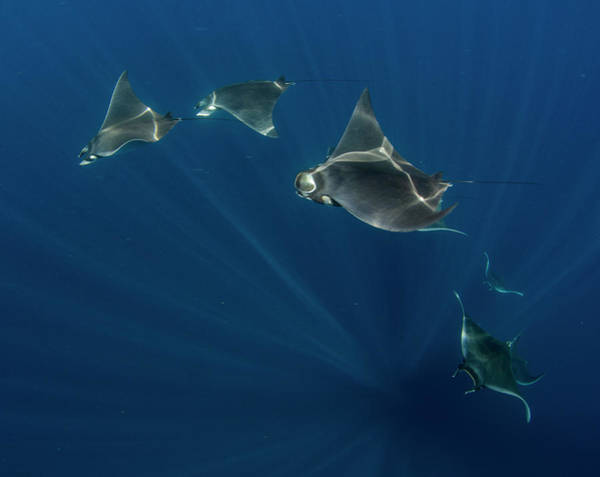 Isla Mujeres Photograph - Group Of Mobula Ray by Luis Javier Sandoval