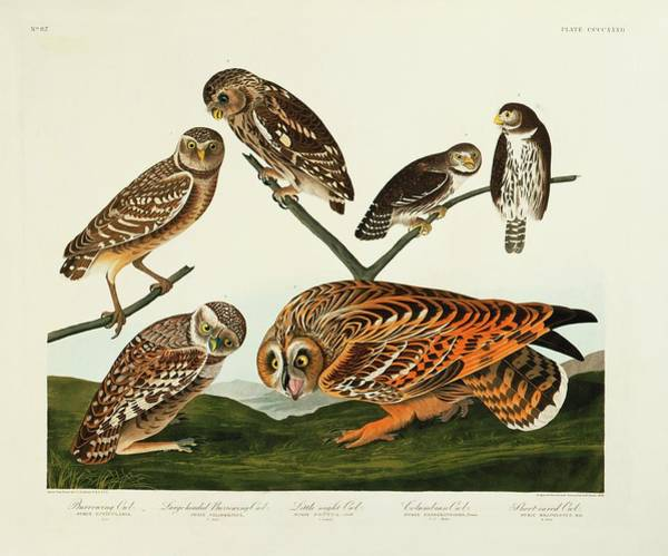 Aquatint Photograph - Group Of Owls by Natural History Museum, London/science Photo Library