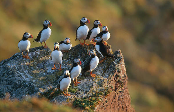 Group Of Puffins Fratercula Arctica Art Print