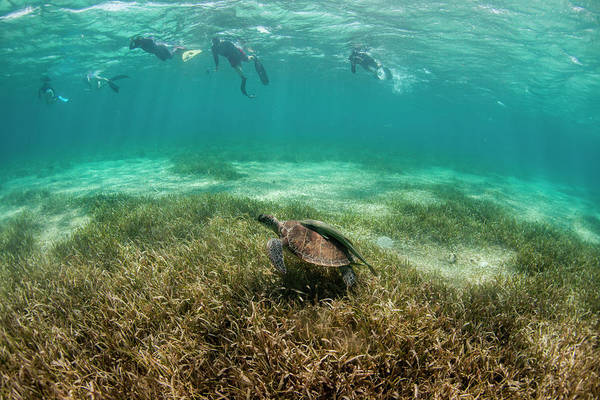 Roatan Photograph - Group Of Snorkelers With Turtle by Logan Mock-Bunting