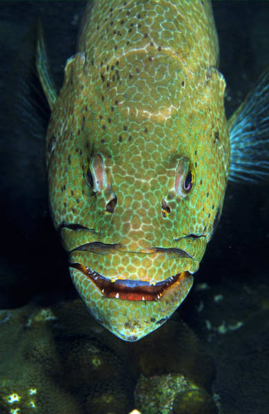Wall Art - Photograph - Grouper Face, Roatan Underwater Park by F. Stuart Westmorland