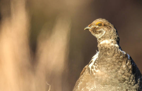 Photograph - Grouse 1 by Kevin  Dietrich