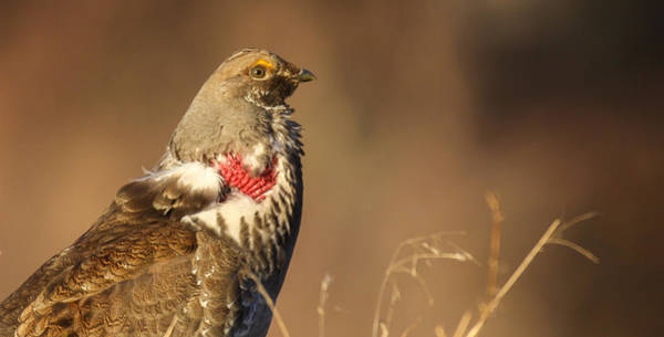 Photograph - Grouse 2 by Kevin  Dietrich