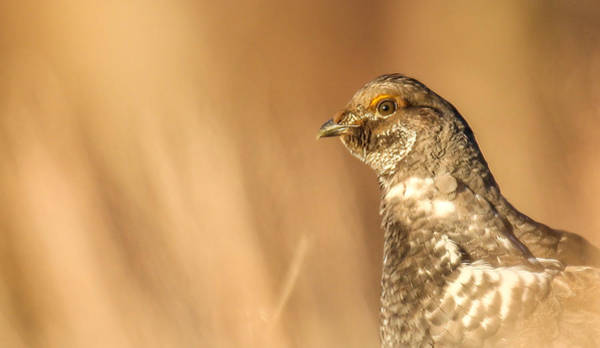 Photograph - Grouse 4 by Kevin  Dietrich