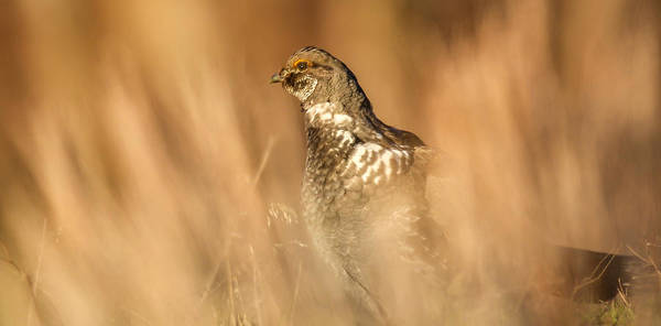 Photograph - Grouse 5 by Kevin  Dietrich