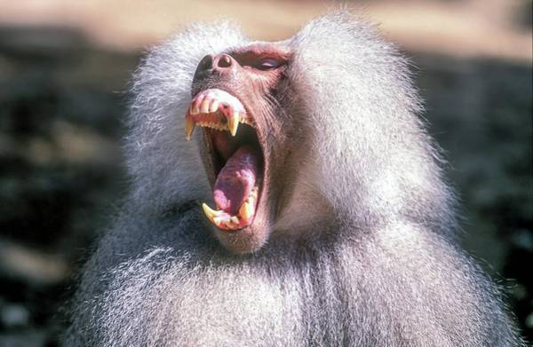 Growling Wall Art - Photograph - Growling Dominant Male Hamadryas Baboon by Photostock-israel