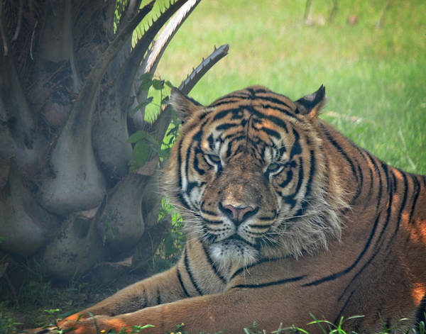 Photograph - Grumpy Tiger by Maggy Marsh