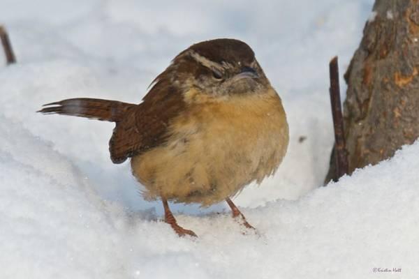 Photograph - Grumpy Wren by Kristin Hatt