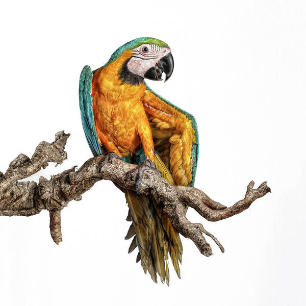 Macaws Photograph - Guacamayo by Silversaltphoto.j.senosiain