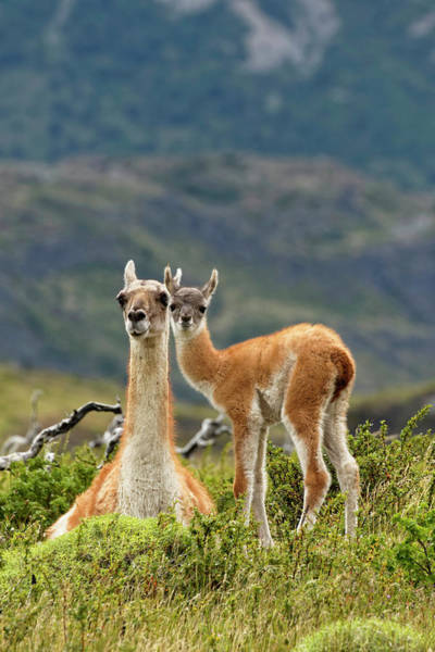 Wall Art - Photograph - Guanaco And Baby, Andes Mountain by Adam Jones