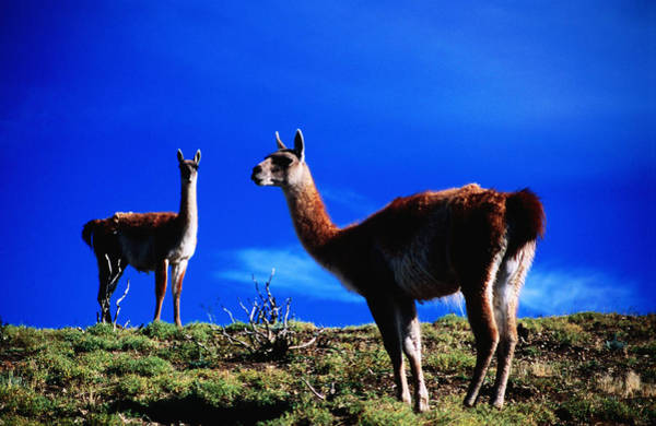 Antartica Wall Art - Photograph - Guanacos Pausing From Grazing by Gareth Mccormack
