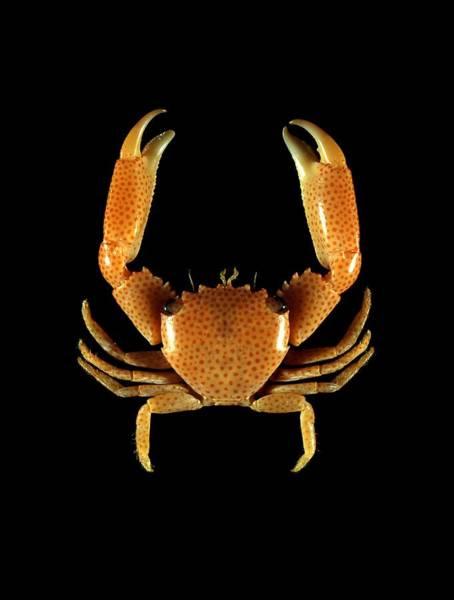 Chela Wall Art - Photograph - Guard Crab by Science Photo Library