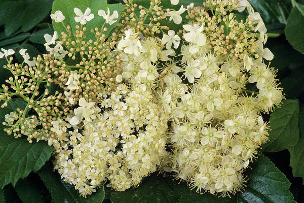 Rowan Photograph - Guelder Rose by Ann Pickford/science Photo Library