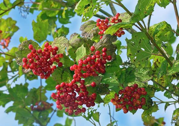 Norfolk Photograph - Guelder-rose (viburnum Opulus) In Fruit by Bob Gibbons/science Photo Library