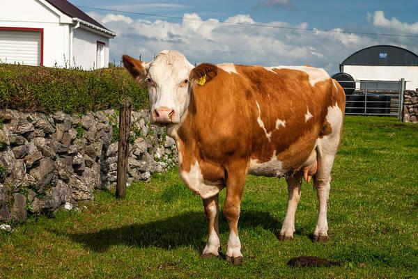 Wall Art - Photograph - Guernsey Cow, Gort, Ireland by James Steinberg