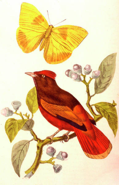 Sulfur Butterfly Wall Art - Photograph - Guianan Red Cotinga And Butterfly by Collection Abecasis/science Photo Library