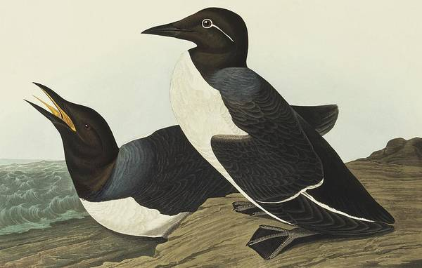 Aquatint Photograph - Guillemot by Natural History Museum, London/science Photo Library