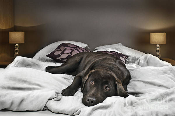 Naughty Dog Wall Art - Photograph - Guilty Dog On Bed by Justin Paget