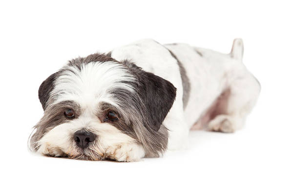 Canine Photograph - Guilty Looking Lhasa Apso Dog Laying by Susan Schmitz