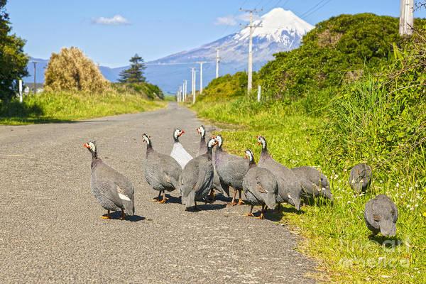 Fowl Photograph - Guinea Fowl Taranaki New Zealand by Colin and Linda McKie