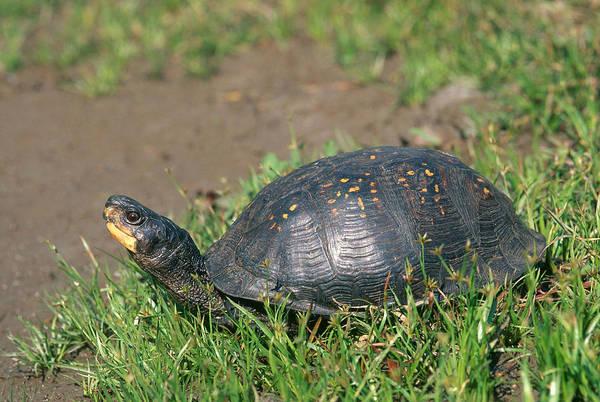 Box Turtle Photograph - Gulf Coast Box Turtle by Karl H. Switak